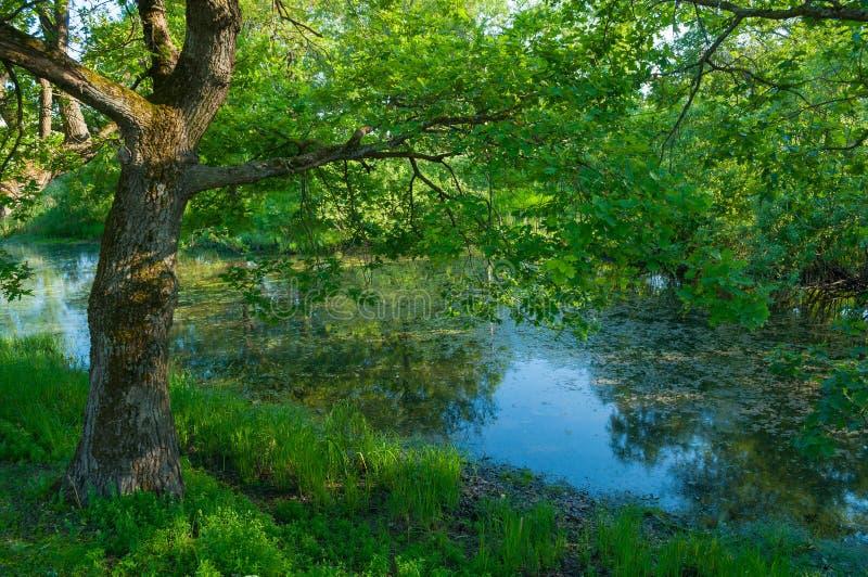 夏天森林风景-在小森林河的河岸的绿色落叶橡树晴朗的天气的 库存图片