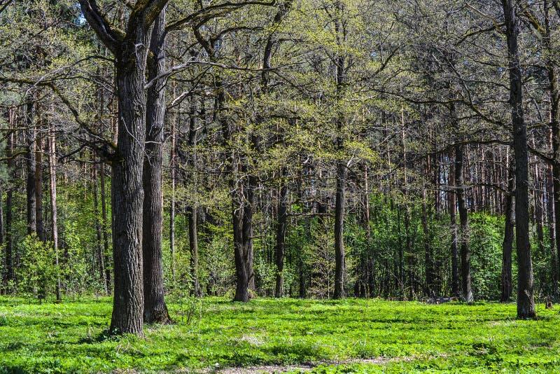 夏天橡木橡树森林丛林  免版税图库摄影