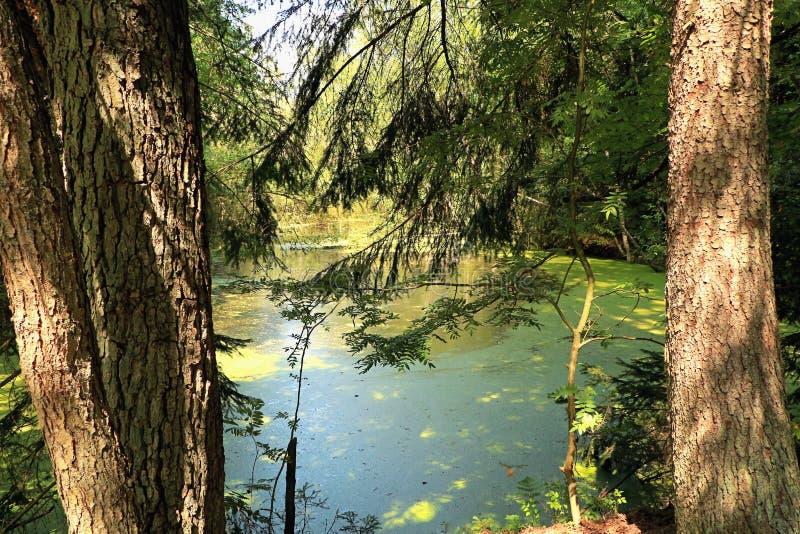 夏天池塘在森林 图库摄影