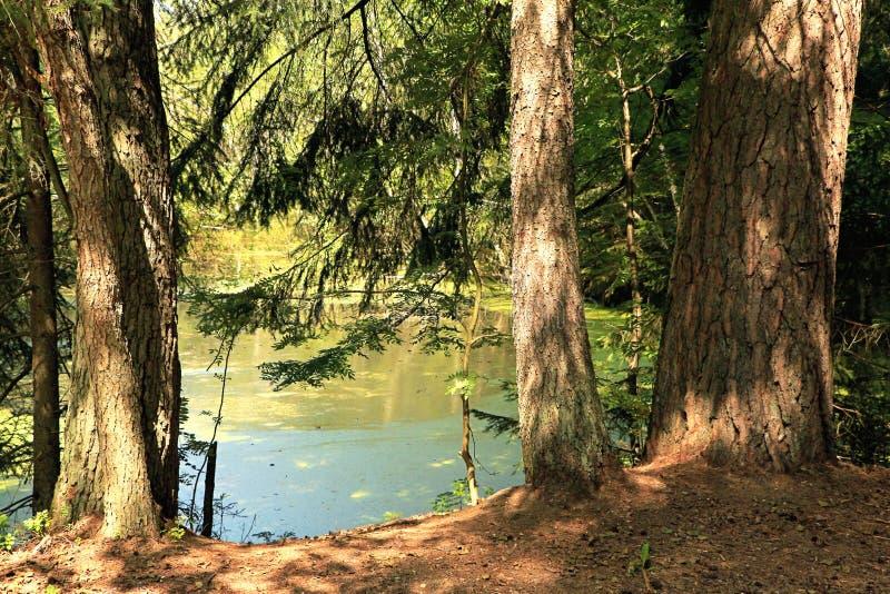 夏天池塘在森林 库存照片