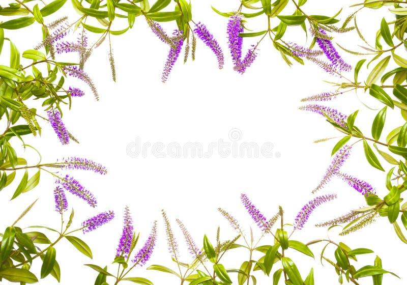 夏天淡紫色花框架 库存照片