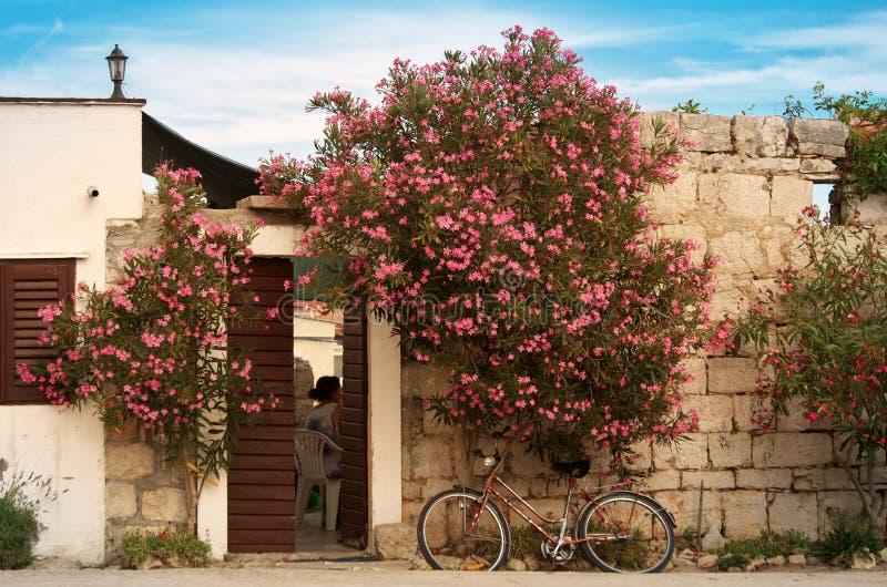 夏天热在一个克罗地亚海岛上的小村庄,在老石墙上的夹竹桃 库存图片