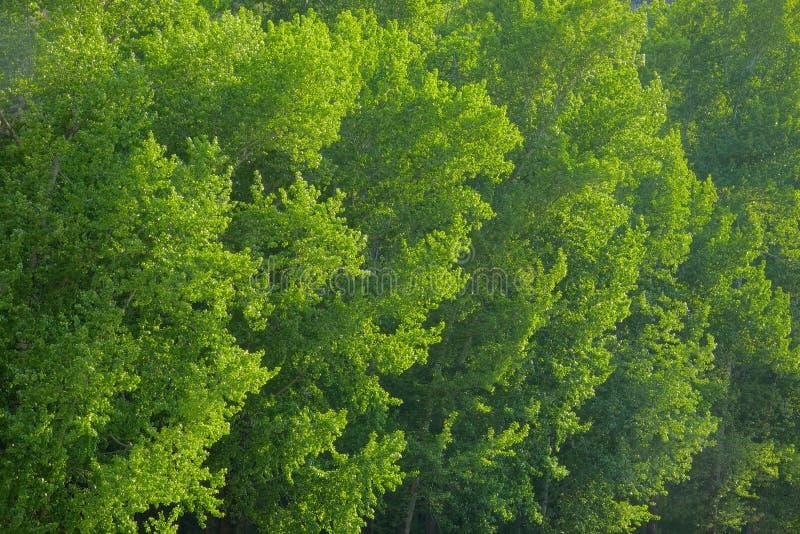夏天白杨树树丛 库存照片