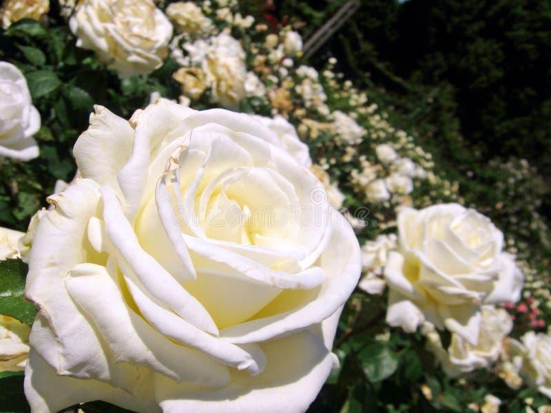 夏天白色玫瑰 免版税库存图片