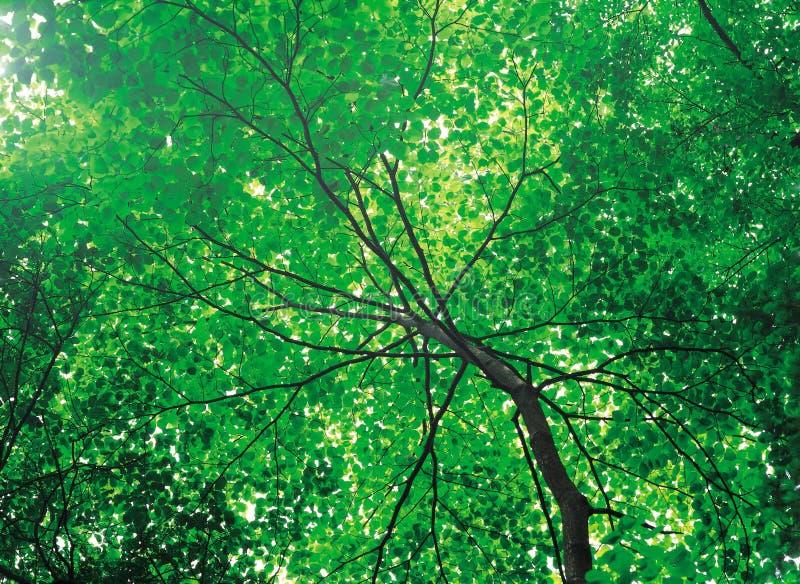 夏天结构树 免版税库存图片