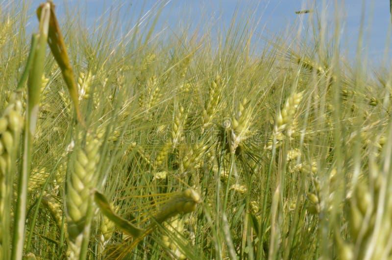 夏天绿色黑麦 库存照片