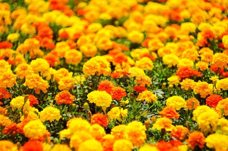 夏天背景开花,生动的万寿菊花草甸,选择聚焦 库存图片