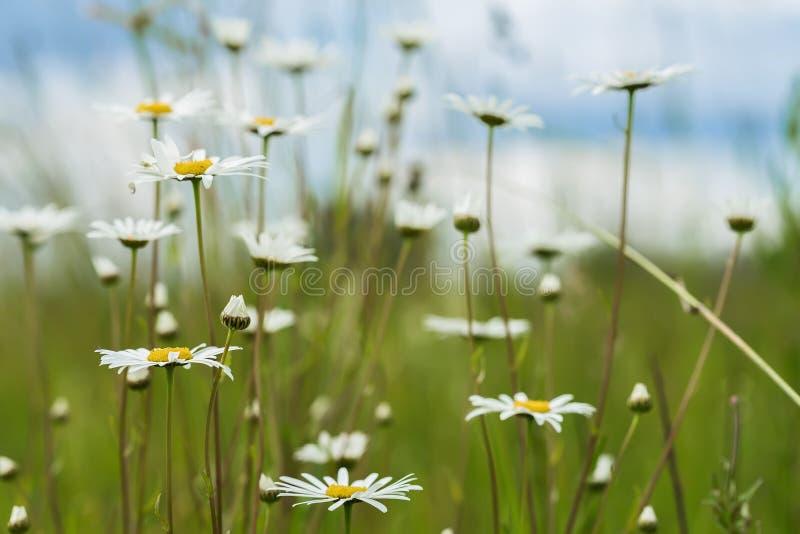 夏天自然本底,生态,绿色行星概念:白色camomiles美丽的开花的野花反对 图库摄影