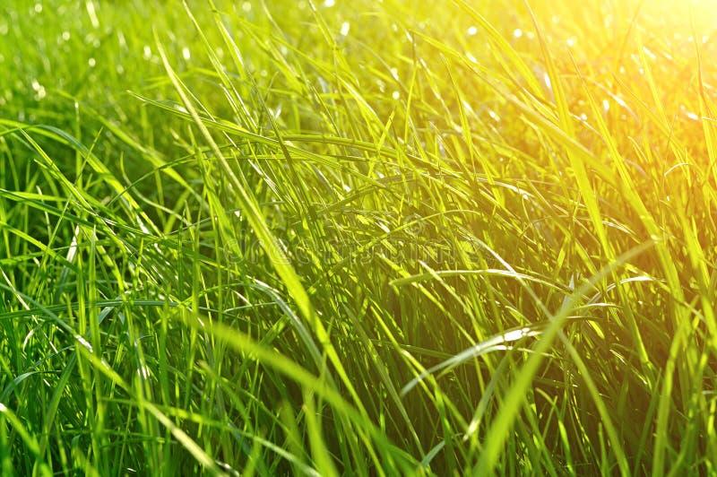 夏天自然本底-新鲜的绿草特写镜头在草坪的在明亮的阳光下 免版税库存图片