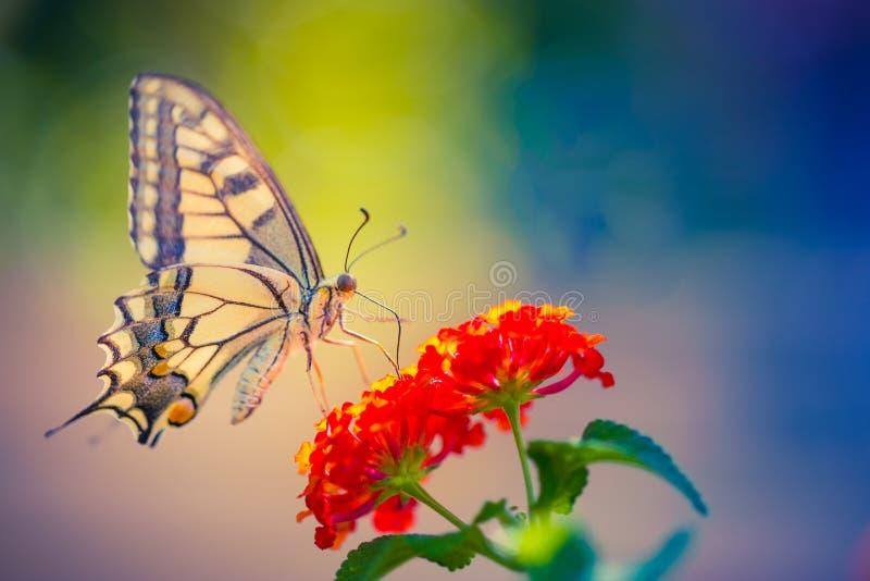 夏天自然观点的与五颜六色的草甸的一只美丽的蝴蝶 在阳光下的美妙的夏天场面 库存图片