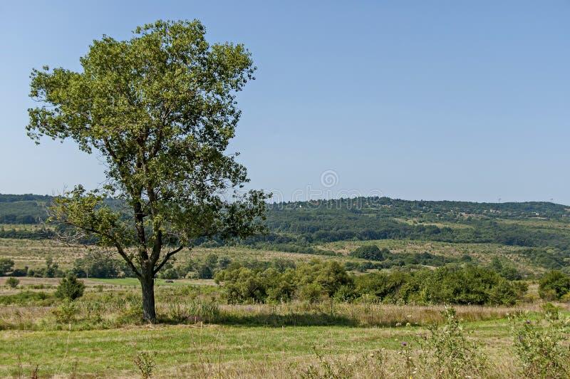 夏天自然风景与绿色沼地、森林和大唯一树, Sredna Gora山的 免版税库存图片