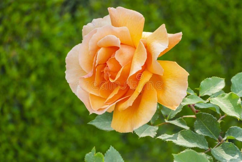 夏天茶玫瑰园 与bokeh作用的玫瑰花蕾特写镜头 库存图片