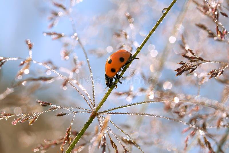 夏天草甸在草的一只瓢虫 图库摄影