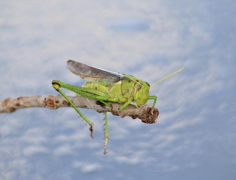 夏天蚂蚱和垂悬的腿-非洲昆虫 免版税库存图片