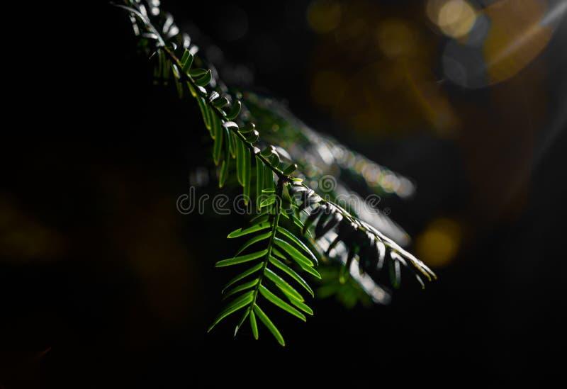 夏天阳光之前照亮的杉木分支特写镜头 免版税库存图片