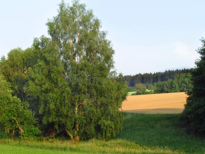 夏天风景有桦树、领域和森林视图 库存图片