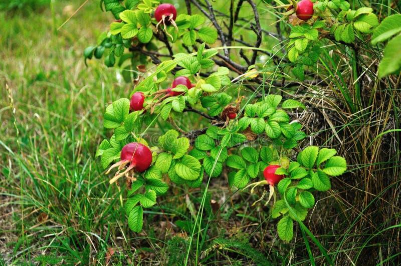 夏天风景用野玫瑰果莓果 库存图片