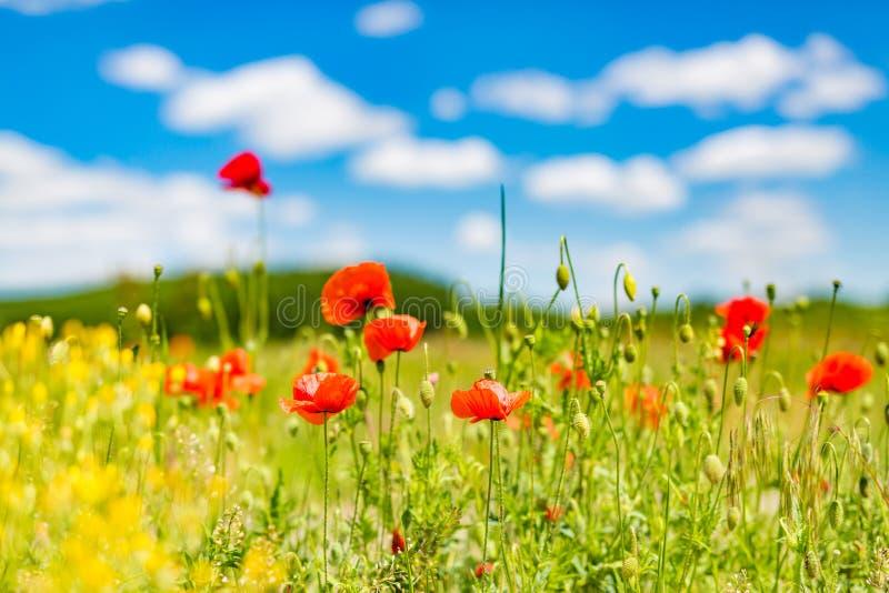 夏天鸦片领域在蓝天和云彩下 美好的夏天自然草甸和花背景 免版税图库摄影