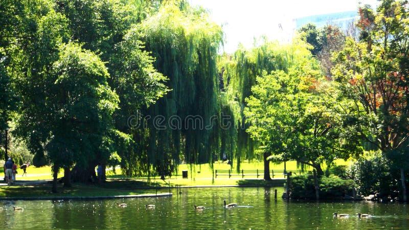 夏天鸭子在池塘 免版税图库摄影