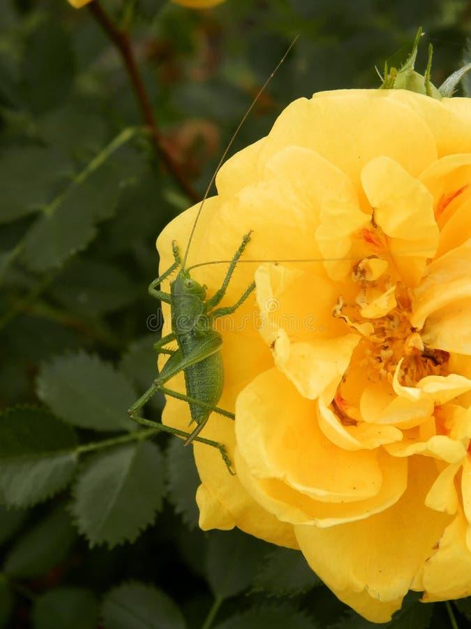 夏天,绿色蚂蚱坐黄色罗斯,宏指令 库存图片