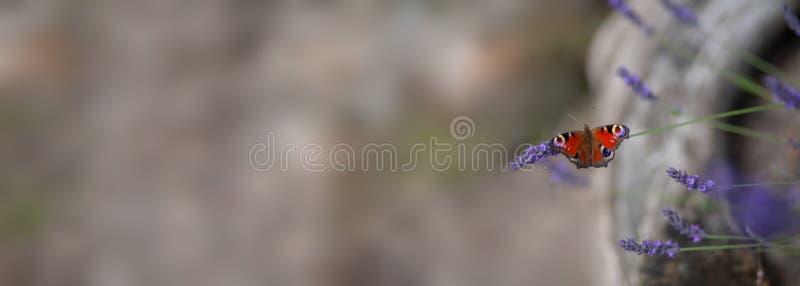 夏天-在淡紫色的蝴蝶 库存照片