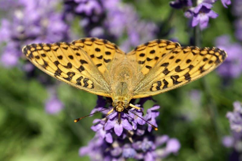 夏天 在淡紫色花的蝴蝶  库存照片