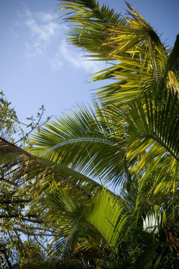 夏威夷棕榈树 图库摄影