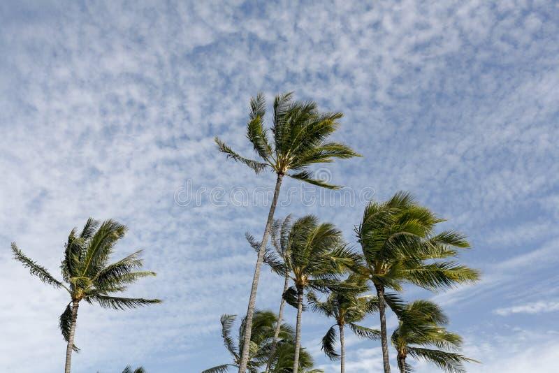 夏威夷棕榈树 免版税库存照片