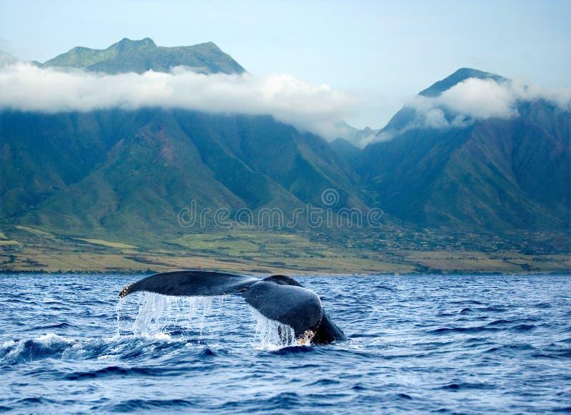 夏威夷毛伊尾标鲸鱼 库存图片
