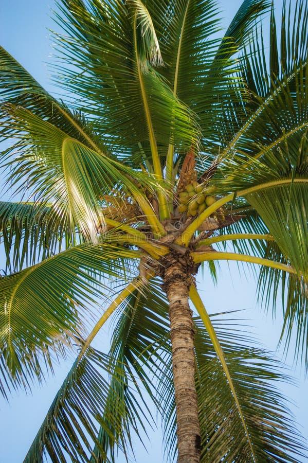 夏威夷的棕榈树 库存照片