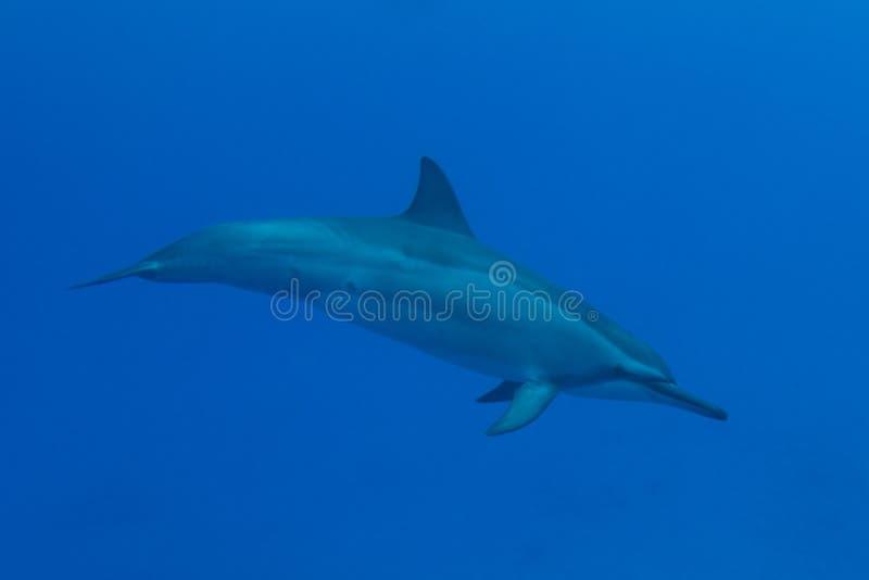夏威夷锭床工人海豚 免版税库存照片