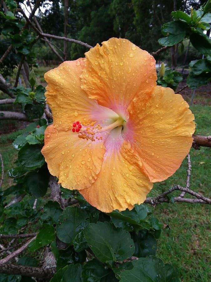 夏威夷Hybiscus 库存照片