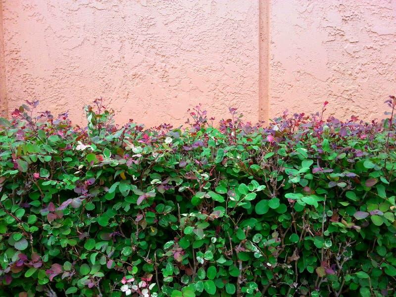 夏威夷Snowbush和灰泥墙壁 免版税库存图片