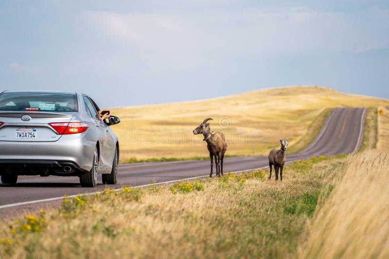 夏季时节,美国南达科他州巴德兰斯国家公园的老鼠鹿和景观 免版税库存图片