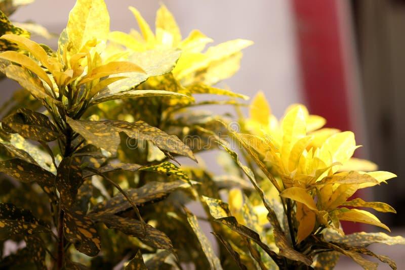 夏季背景中的黄色克罗顿植物 库存图片