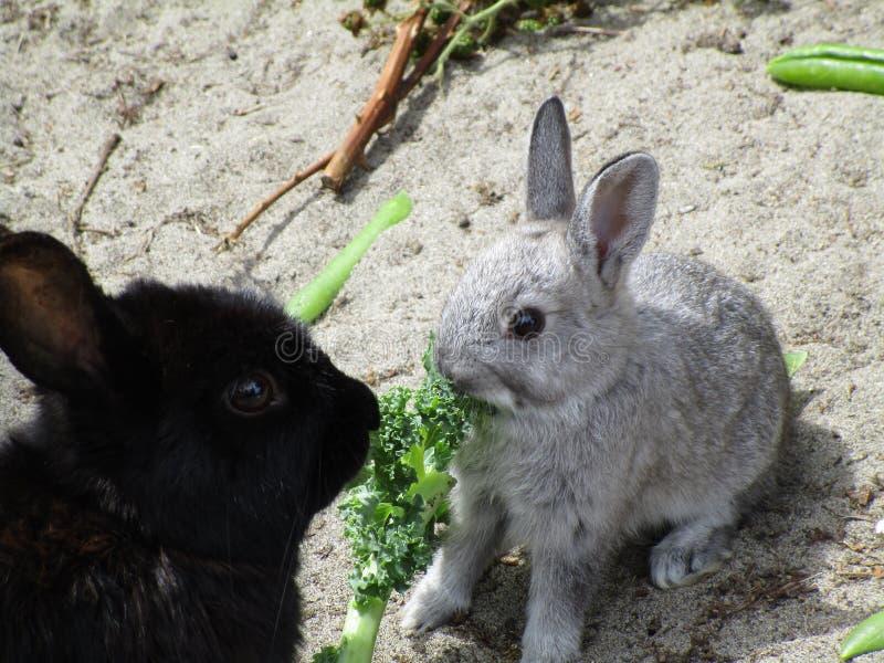 夏季` s甜和可爱的婴孩小兔,耶利哥海滩,不列颠哥伦比亚省,加拿大, 2018年7月 图库摄影