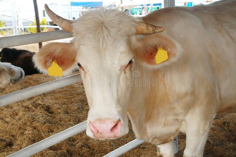 夏洛来牛公牛 免版税图库摄影