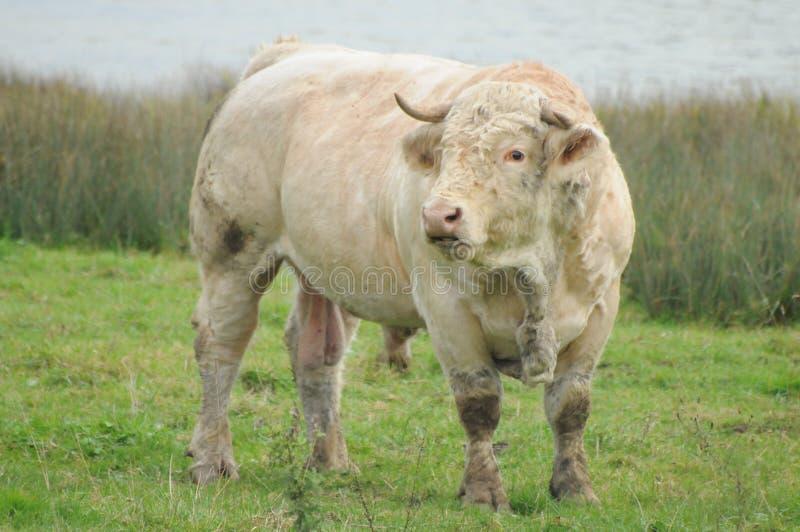 夏洛来牛公牛/沙罗勒公牛 库存图片