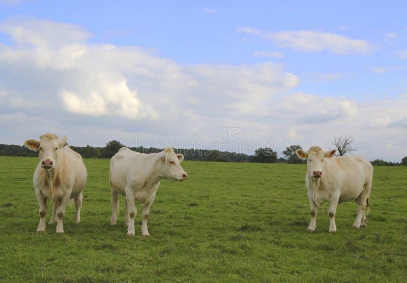 夏洛来牛威胁吃草在伯根地的,法国牧场地 免版税库存照片