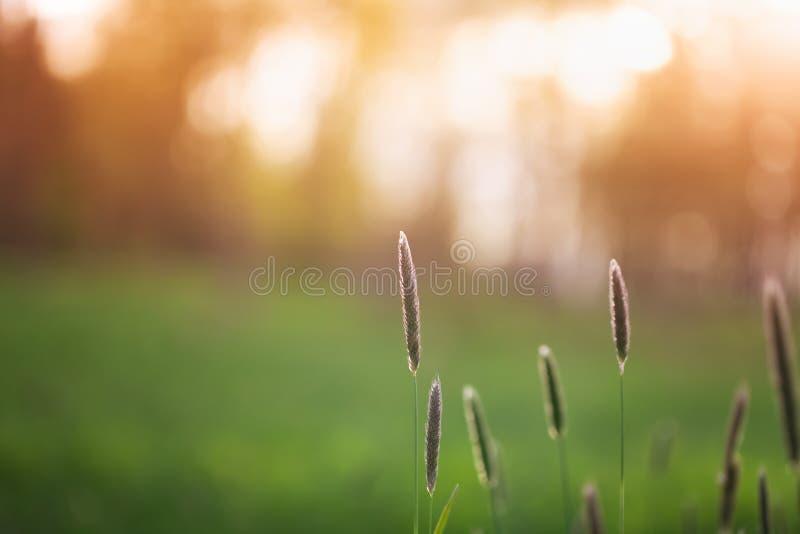 夕阳下田草的美丽夏日景观 抽象自然背景,阳光明媚 库存图片