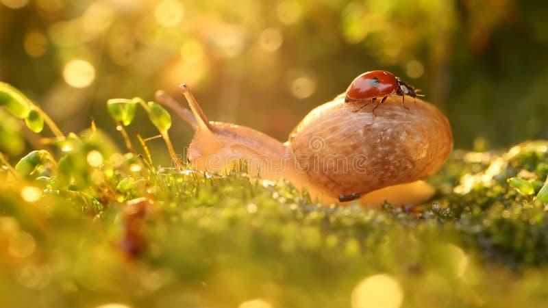 夕阳中蜗牛瓢虫的特写 免版税库存图片