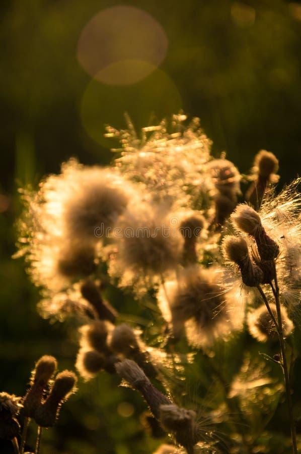 夕阳中褪色的花 免版税图库摄影