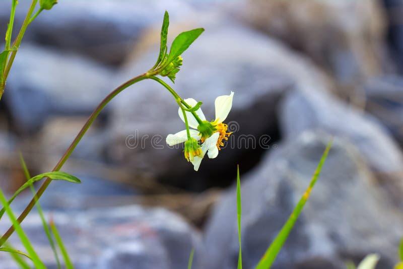 外套按钮花 Maxican雏菊开花Tridax procumbens L 免版税库存图片