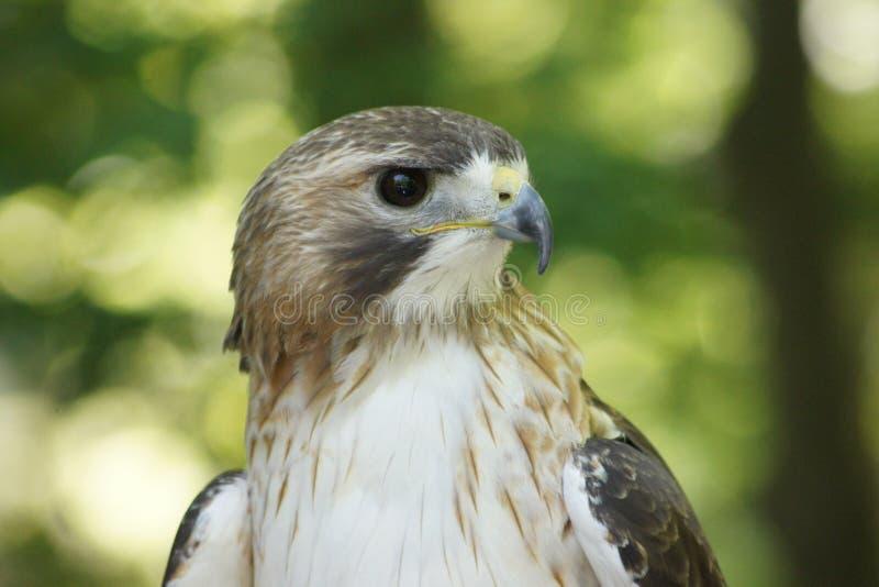 外形接近红色被盯梢的鹰 库存照片