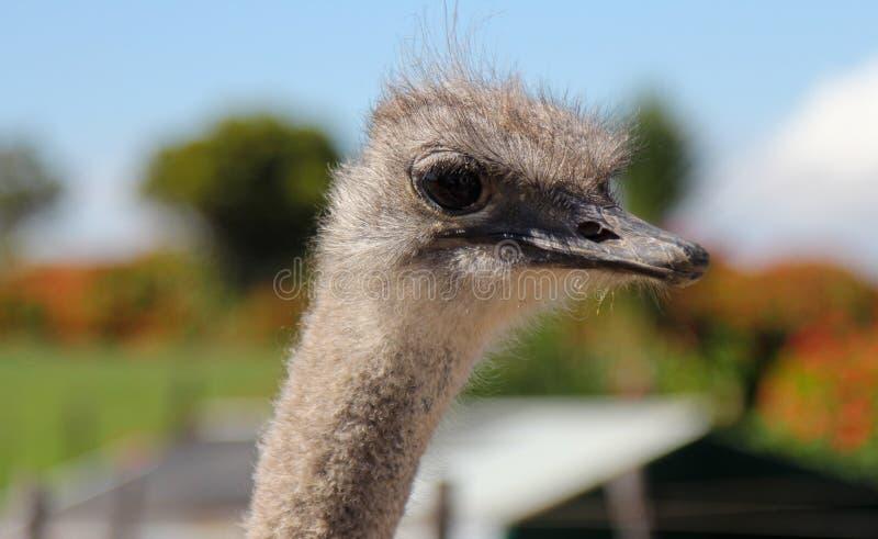 外形画象的驼鸟关闭,关闭有长的脖子和大眼睛的驼鸟头 库存照片