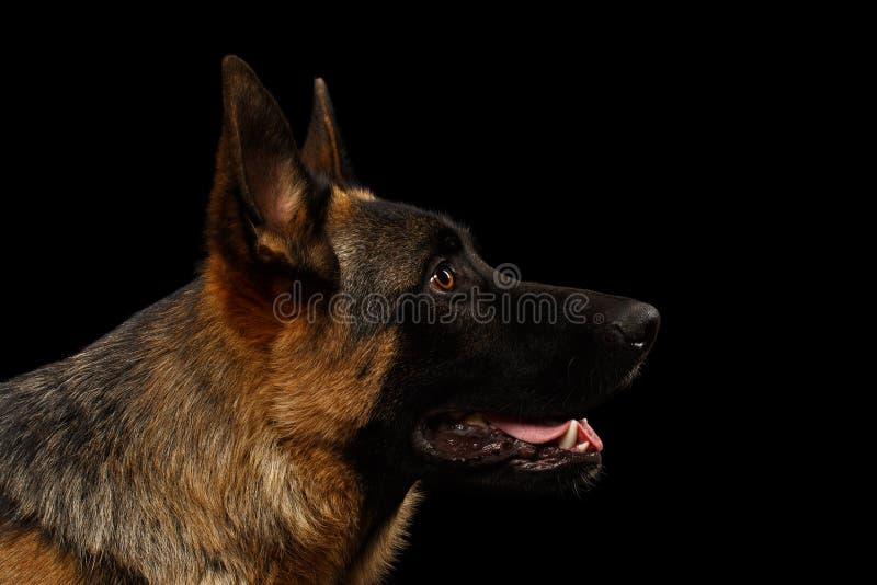 外形的特写镜头德国牧羊犬在黑色 免版税库存照片