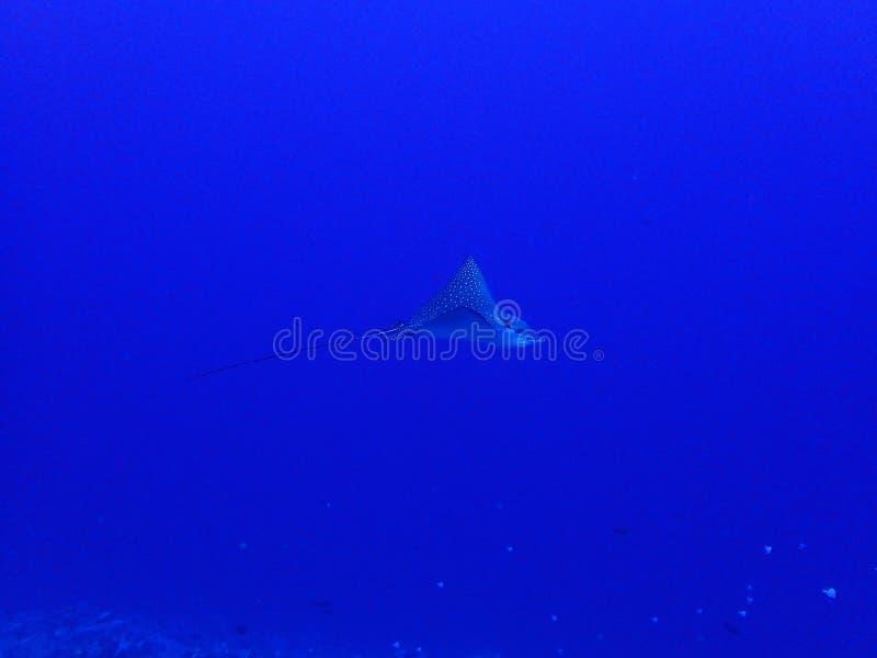 外形被察觉的鹰深深蓝色水中 免版税图库摄影