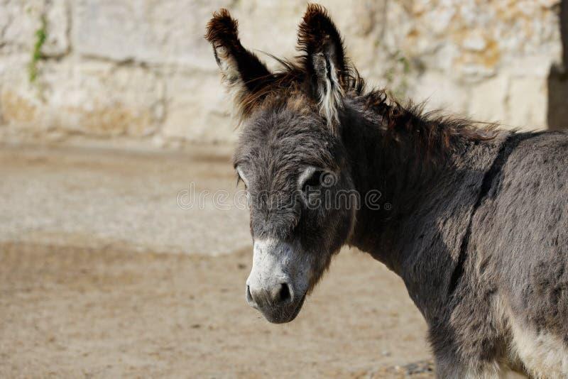 外形观点的在农场的家养的灰色驴 免版税库存图片