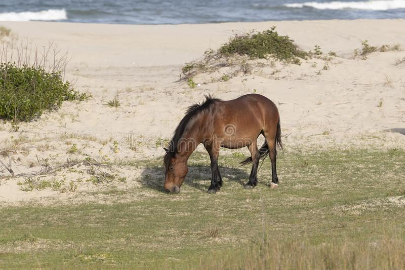 外滩群岛野马 库存图片