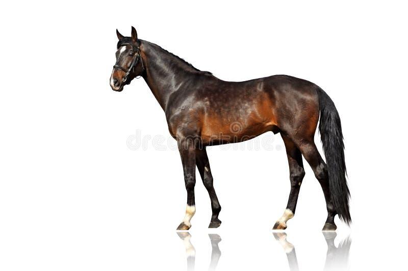 外部美丽的马 在空白背景的孤立 免版税库存照片